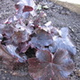 Heuchera Midnight Rose (Heuchera micrantha (Coral flower))