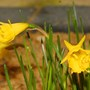 Narcissus bulbocodium (Narcissus bulbocodium)