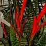 Vriesia splendens (Vriesia splendens)