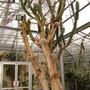 Euphorbia abyssinica (Euphorbia abyssinica)