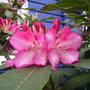 Rhododendron Strawberry Sundae