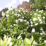 mock orange awakening (Philadelphus lewisii (Mock Orange))