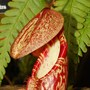 Nepanthes spectabilis (nepanthes spectabilis)