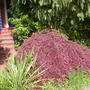 red japanese maple/acer (Acer palmatum (Japanese maple))