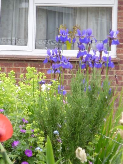 Iris siberica (Iris sibirica (Siberian iris))