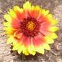 blanket flower (Gaillardia x grandiflora 'Goblin')