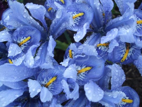 Iris reticulata 'Alida' (Iris reticulata)