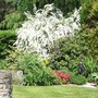 My beautiful spiraea.  (Spriraea 'Arguta' (bridal wreath))
