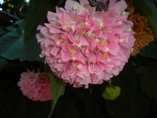 Dombeya wallichii - Pink Ball Tree, Tropical Pink Hydrangea (Dombeya wallichii - Pink Ball Tree, Tropical Pink Hydrangea)