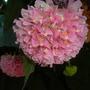 Dombeya wallichii - Pink Ball Tree, Tropical Pink Hydrangea