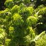 Caryota urens - Fishtail Palms (Caryota urens - Fishtail Palm)
