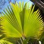 Pritchardia beccariana? frond  - Loulou Palm, Kilauea Pritchardia (Pritchardia beccariana? frond  - Loulou Palm, Kilauea Pritchardia)