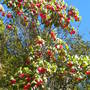 Dombeya cacuminum - Strawberry Snowball Tree (Dombeya cacuminum - Strawberry Snowball Tree)
