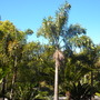 Wodyetia bifurcata - Foxtail Palms (Wodyetia bifurcata - Foxtail Palm)