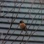 Bullfinch...I think!