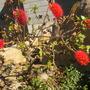 Greyia sutherlandii - Natal Bottlebrush (Greyia sutherlandii - Natal Bottlebrush)