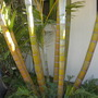 Dypsis lutescens - Golden Cane Palm Trunks (Dypsis lutescens - Golden Cane Palm Trunks)