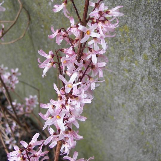 Pink Forsythia Grows On You