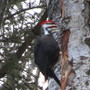 Pileated Woodpecker on an aging Aspen