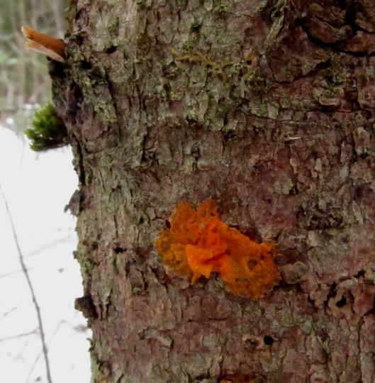 Dacrymyces palmatus... Jelly Fungus.