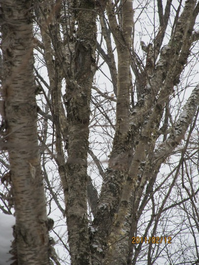 The upper story of a huge Betula, Golden Birch