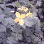 Wildflower - Celandine (Chelidonium majus (An Ceann Ruadh))