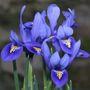 Iris_harmony