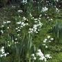 Snowdrops_in_garden..