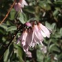 Abeliophyllum distichum (Abeliophyllum distichum)