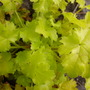 Lime ricky (Heuchera sanguinea (Coral Bells))