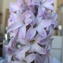 Lavender Hyacinth (Hyacinthus orientalis (Hyacinth))