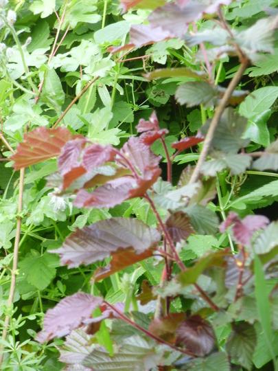 Hazel Purple (Corylus maxima (Filbert))