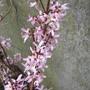 Pink Forsythia 2 (Abeliophyllum distichum)