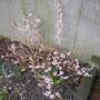 My tiddly Pink Forsythia (Abeliophyllum distichum)