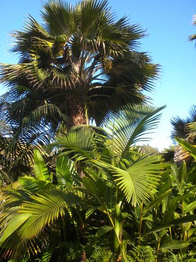 Hyophorbe indica - Champagne Palm (below) Pritchardia species above (Hyophorbe indica - Champagne Palm, Pritchardia species)