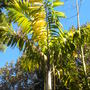 Wodveitchia (Wodyetia bifurcata x Veitchia) 'Variegata' - Variegated Foxylady Palm (Wodveitchia (Wodyetia bifurcata x Veitchia) 'Variegata' - Variegated Foxylady Palm)