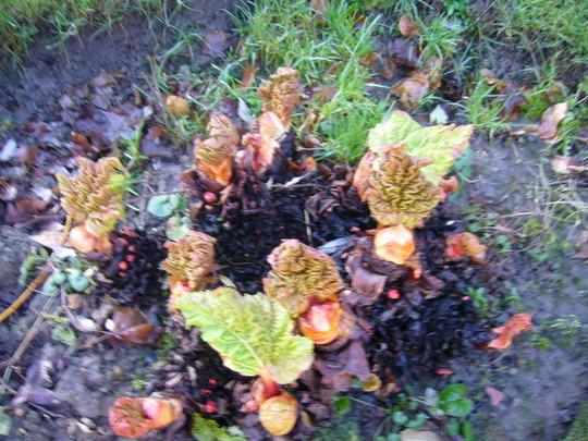 Todays Rhubarb