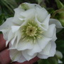 Helleborus x hybridus &#x27;Double Inspiration&#x27; (Helleborus x hybridus)
