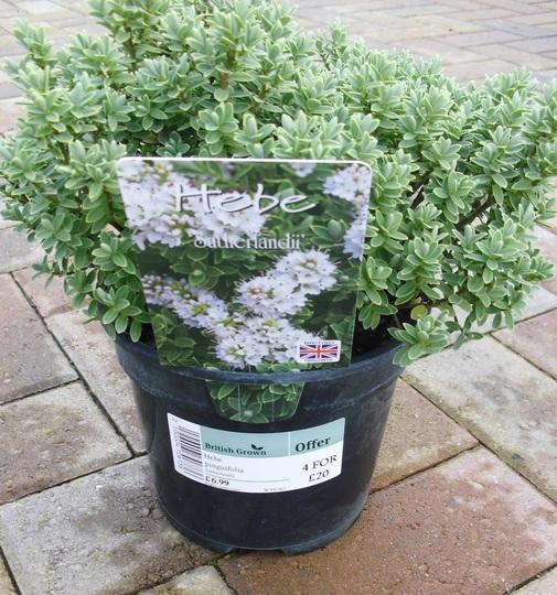 Hebe pinguifolia 'Sutherlandii'  -  Hardy evergreen shrub (Hebe pinguifolia (Hebe))