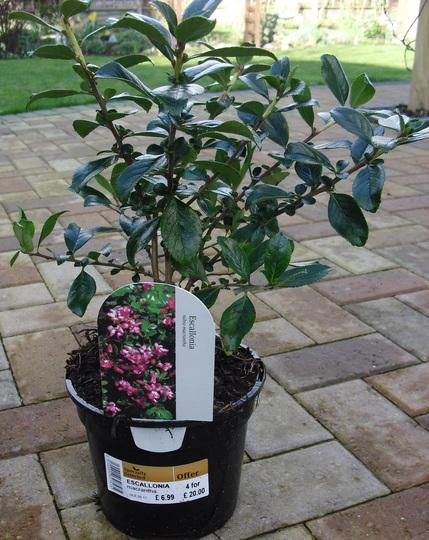 Escallonia rubra macrantha  -  evergreen shrub (Escallonia rubra)