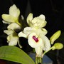My nobile Dendrobium in rebloom (Dendrobium)