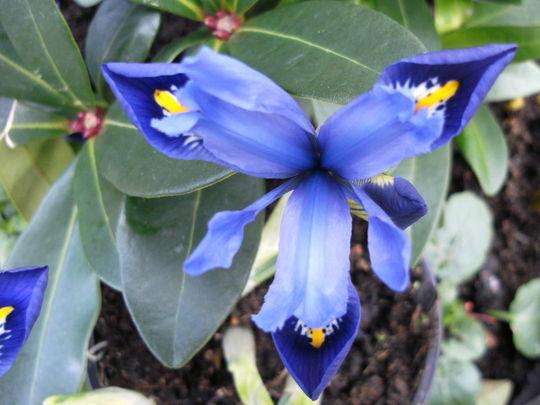 Iris Reticulata   ' Joyce  '