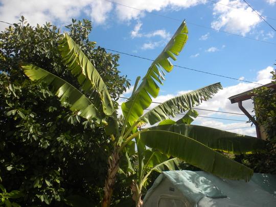 Musa 'Golden Finger' -  Golden Finger Banana Plants (Musa 'Golden Finger' -  Golden Finger Banana)
