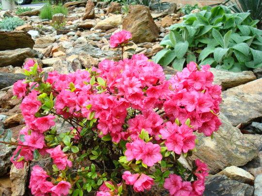 Azalea in my rock garden