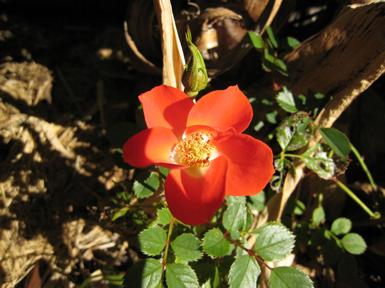 Rose 'Gizmo'