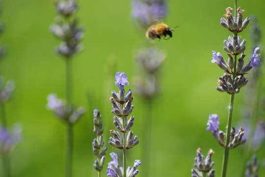 Lavender and bumble bee