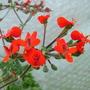 Pelargonium fulgidum (Pelargonium fulgidum)