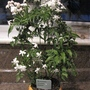 Houseplant-Jasmin flowers
