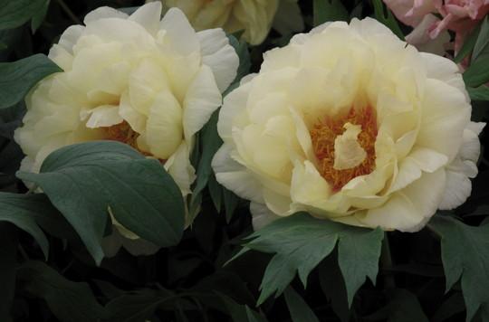 Peony - Chelsea Flower Show