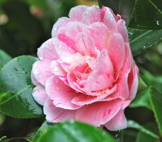 Camellia in the rain.... (Camellia japonica (Camellia)?)